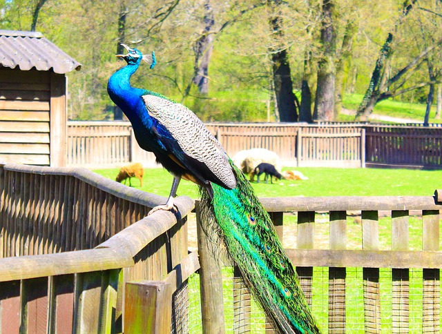 Free peacock birds colorful color iridescent green