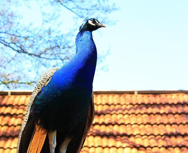 Free peacock colorful spring beautiful bird