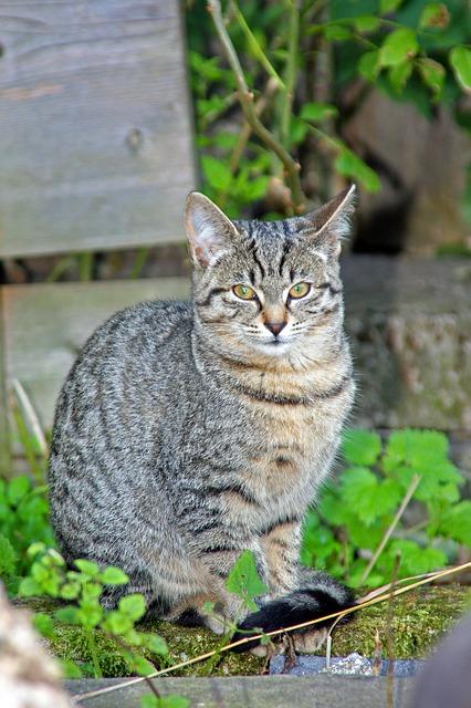 Free cat cat's eyes pets green grass grey cat ears