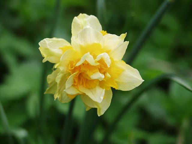 Free daffodil yellow flower daffodils spring