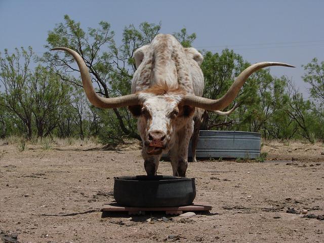Free longhorn texas beef animal cow austin west texas