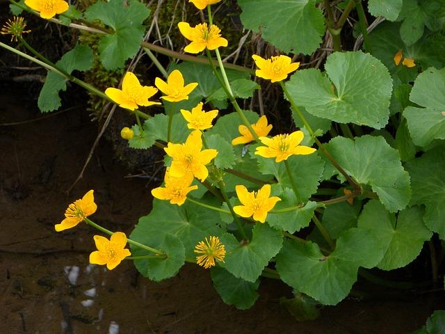 Free caltha palustris flowers aquatic plant flower