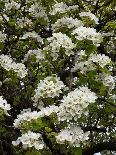 Free cherry cherry blossom bloom blossom spring
