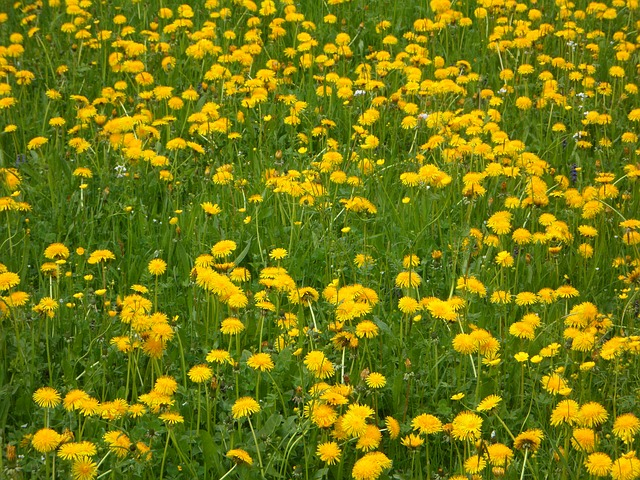 Free dandelion dandelion meadow nature landscape meadow