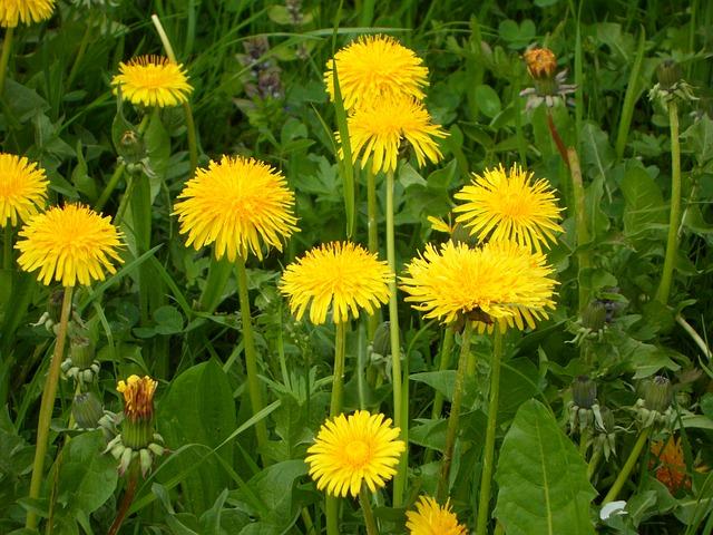 Free dandelion meadow spring flowers yellow close