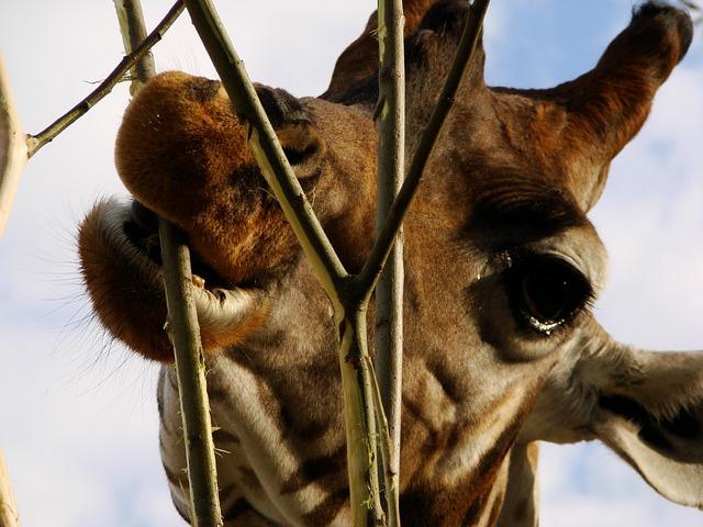 Free giraffe africa eat zoo long jibe