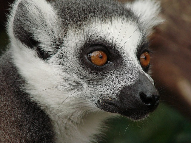 Free                lemur madagascar monkey animal world mammal cute