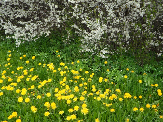 Free flowers blütenmeer dandelion yellow white grass
