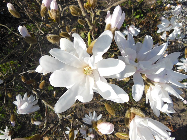 Free Photos: Magnolia white flowering trees white stardust trees | Susbany