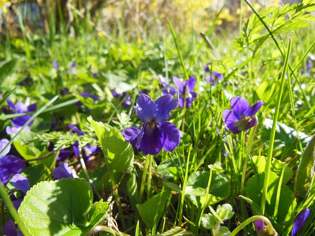 Free spring violets sunny weather background grass