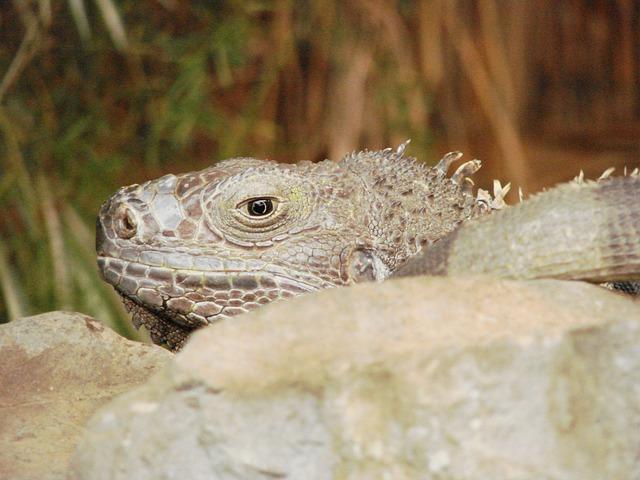 Free lizard animal gecko creature lizards reptile