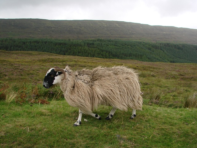 Free sheep livestock scotland wool nature