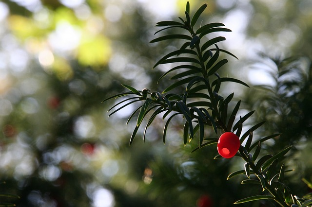 Free plant yew fruit berry red