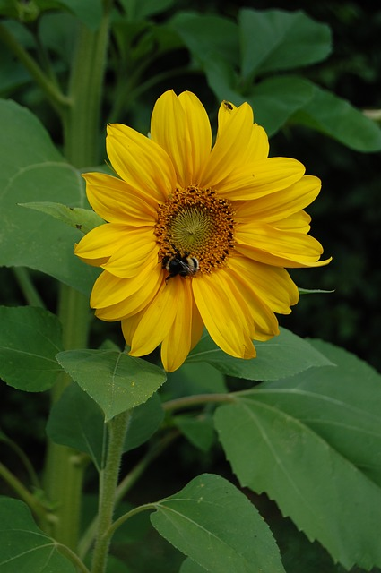 Free bee flower sunflower insects