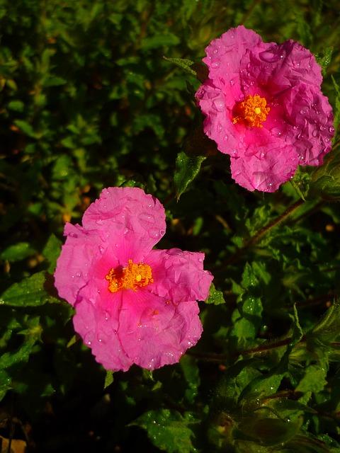 Free cistus white flowers rosa green spring wet rain