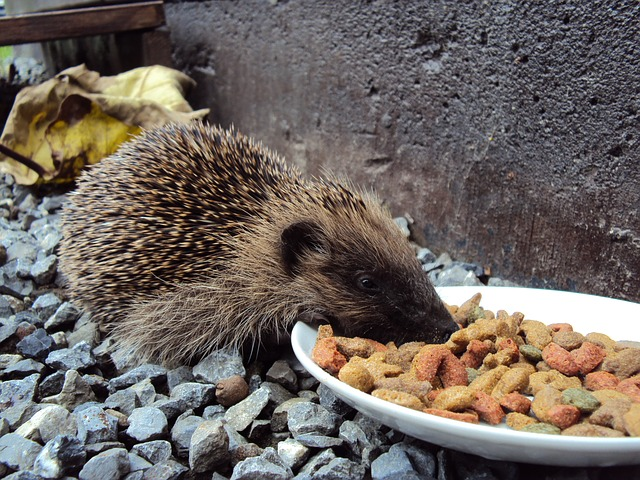 Free hedgehog food kibble pebble beast animal spines