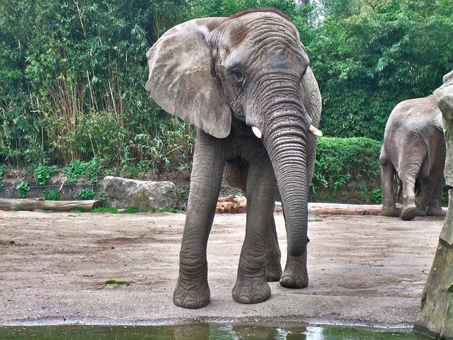 Free elephant grey zoo ivory