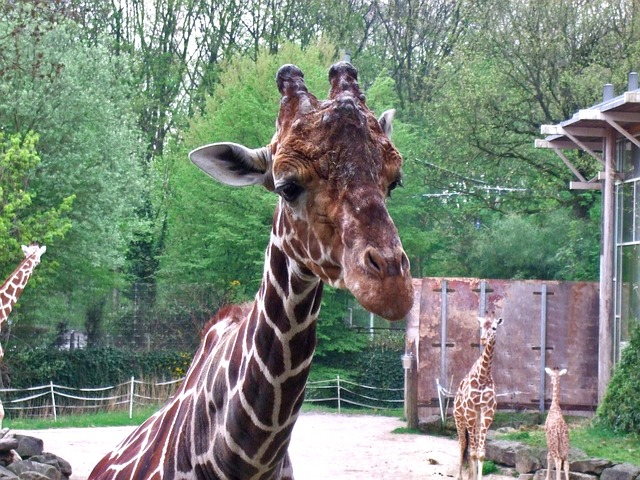 Free giraffe mammal zoo males