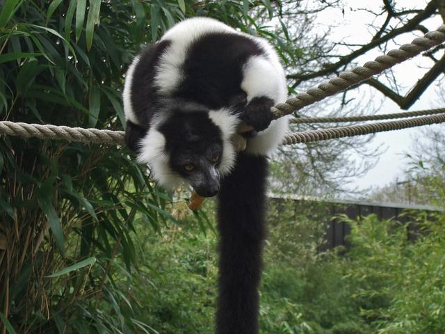 Free vari lemur prosimian zoo nature black and white