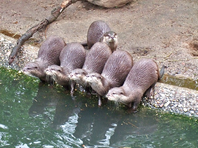Free Photos: Clawed otter water pets nature zoo otter pack | Tanja Richter
