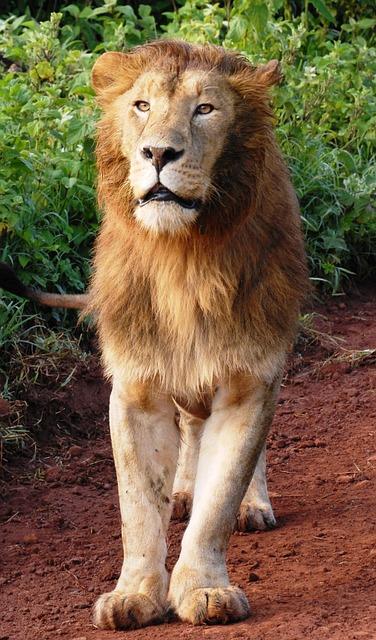 Free lion big cat cat of prey wildcat wild cat safari
