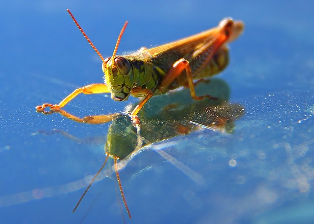 Free grasshopper insect nature macro reflection close