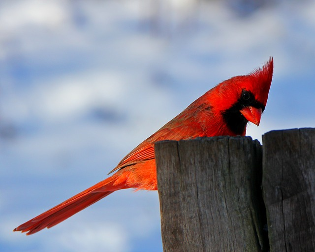 Free                bird nature cardinal male cardinal winter red