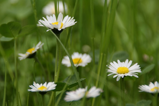 Free spring flower signs of spring daisy meadow nature