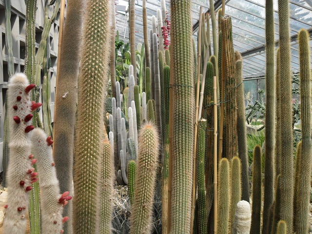 Free cactus many greenhouse long high