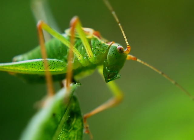 Free               delicate insect grasshopper insect dotted green