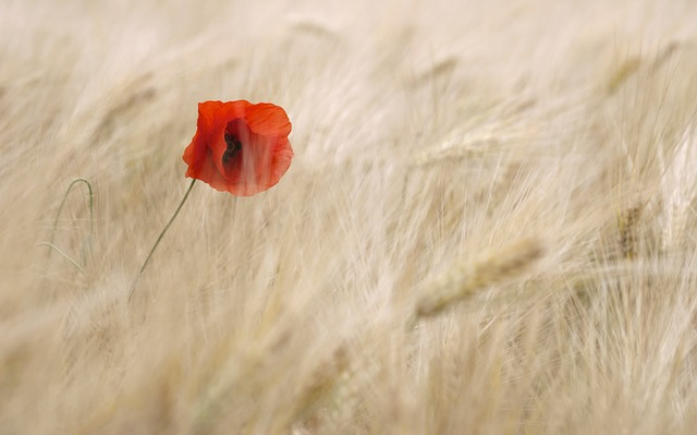 Free poppy flower cereals field summer individually