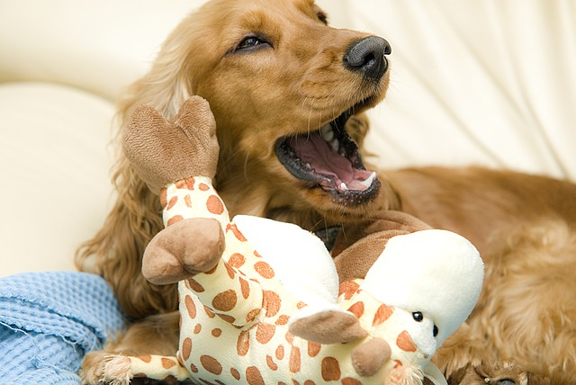 Free cocker spaniel dog yawn animal pet beast animals