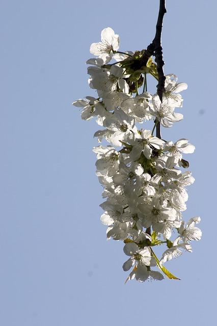 Free nature flower cherry cherry blossom garden seasons