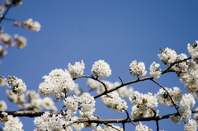 Free cherry cherry blossom spring summer sun flower