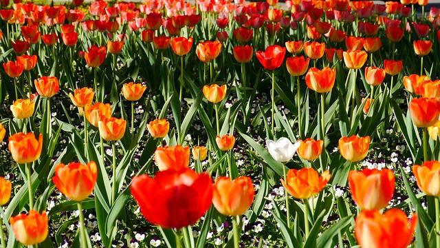 Free spring tulip field bloom