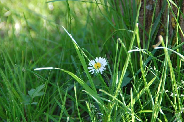 Free daisy flower nature grass