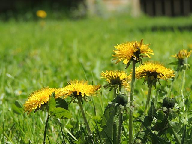 Free dandelion yellow spring garden plant flower grass