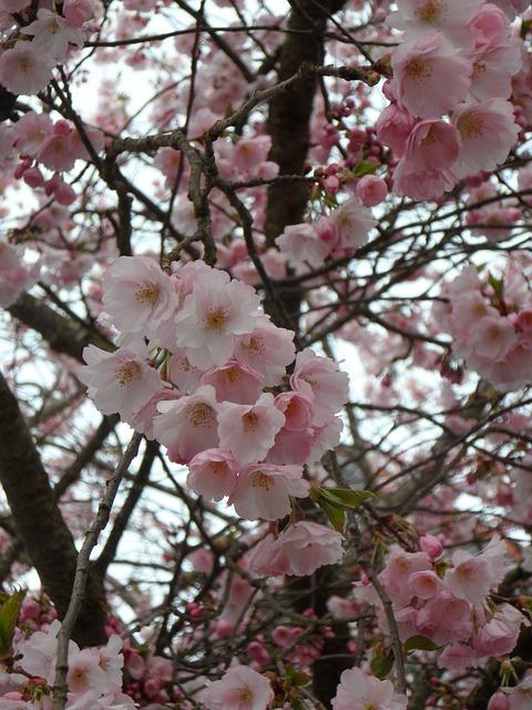 Free flower flowers flower tree pink spring