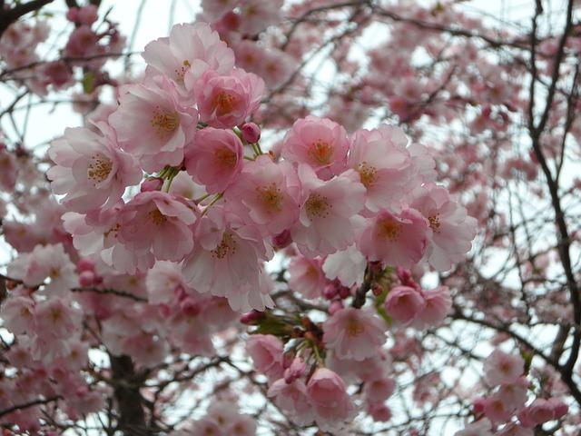 Free ornamental cherry cherry blossom