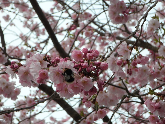 Free hummel sprinkle ornamental cherry flower close