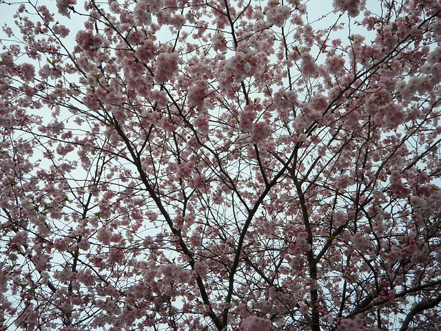 Free background blütenmeer ornamental cherry pink