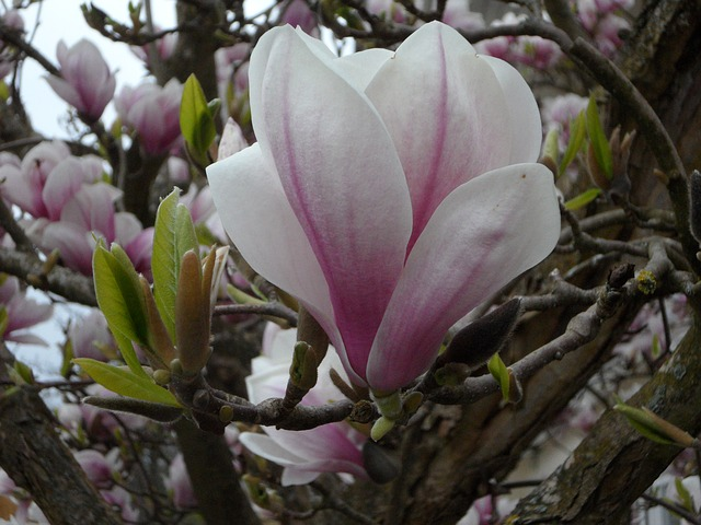 Free close flower magnolia bloom spring tender