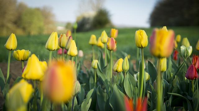 Free flowers flora tulips plant flower spring tulip
