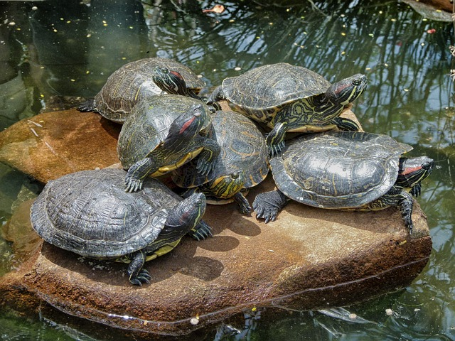 Free turtles rock stream water pond together nature
