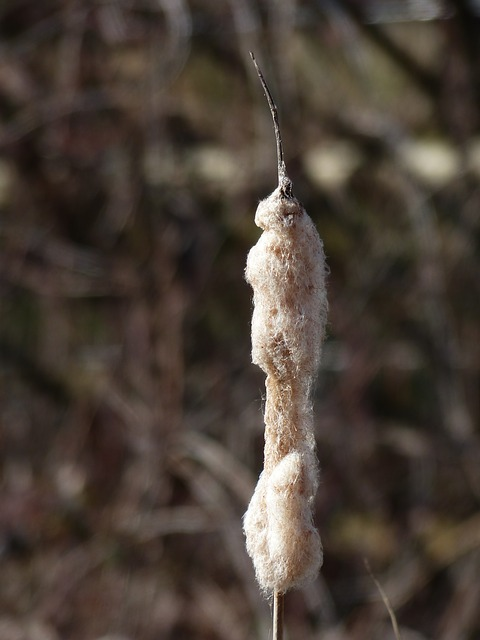 Free cattail reeds flying seeds wool typha lampenputzer