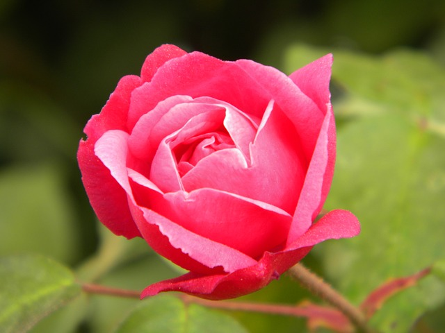 Free rosa button flower plant