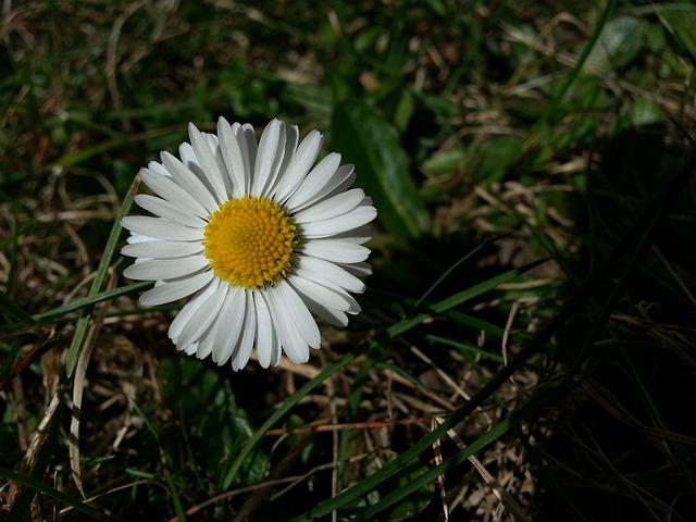 Free daisy plant flower flowers white