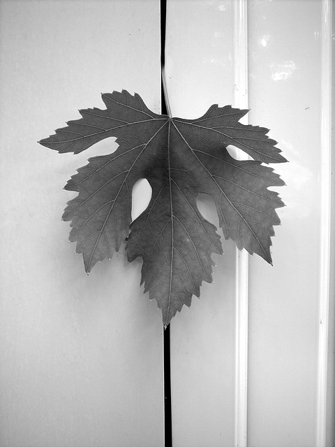 Free leaf screw vineyard grapes grapery agriculture