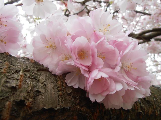 Free nature cherry flower spring cherry blossom