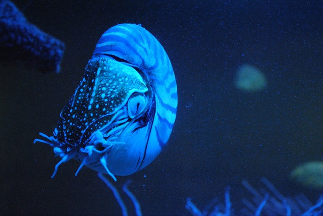 Free animals nautilus living fossils blue